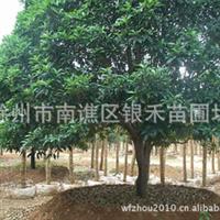 大量供应桂花树 桂花树批发 树形好桂花树(图)