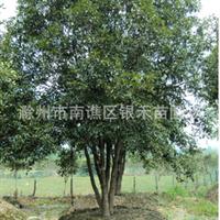 供应桂花树 各种规格桂花树 价格详谈(图)