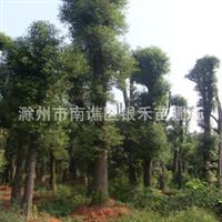 供应大香樟 绿化首选香樟树 价格详谈(图)