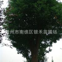 供应大香樟 优质香樟树 绿化首选香樟树(图)