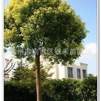 供应大香樟 银禾苗圃直销香樟树(图)