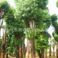 供应大香樟 各种规格香樟树苗 (图)