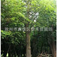 直销朴树 各种大小朴树 优质绿化树苗 (图)