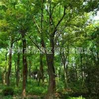 银禾苗圃自产自销朴树 各种规格的朴树(图)