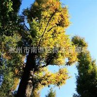 各种榉树 绿化榉树 南谯区银禾苗圃(图)