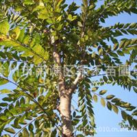银禾苗圃直销榉树 各种榉树树苗(图)