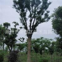 大量供应榉树 青榉树 白榉树 规格齐全(图)