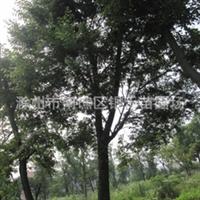 直销榉树 长期供应各种规格榉树 (图)