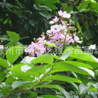 大量供应绿化苗木紫薇 紫薇树苗(图)
