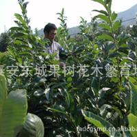 大量供栗子树、板栗树、栗子苗、优良品种板栗苗、