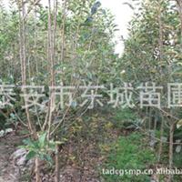 供3公分-4公分苹果树,大小苹果树,量大从优。