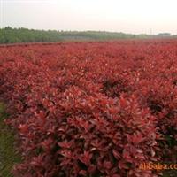 【基地直销】供应大量地栽红叶石楠 红叶石楠容器小苗