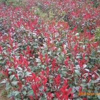 【工程苗木】供应红叶石楠 规格全 货源足 成活率高
