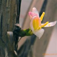 【工程苗木】大量供应金叶大花六道木 忍冬,亦可水培,生根快速