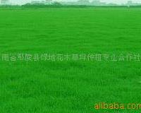供应工程绿化草坪早熟禾.白三叶.马尼拉.