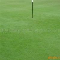 供应绿化用草本特4号草坪马尼拉草坪白三叶