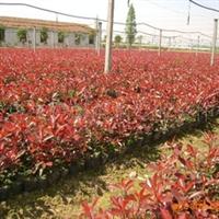 红叶石楠优质容器苗