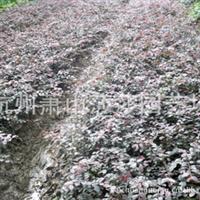 供应各种规格 红花继木