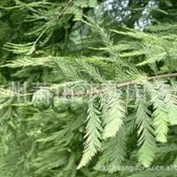 供应各种规格优质落羽杉