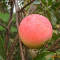 供应果树苗木  第三代果品  冬海棠