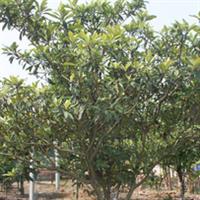 大量供应绿化深夜草莓视频app下载 枇杷5~8公分