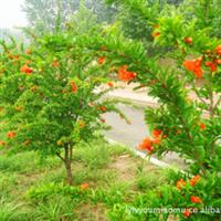 厂家批量供应  优质牡丹石榴树。。。