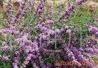 供应苗木花卉紫荆 紫薇 紫丁香 紫叶炸酱草紫花鸢尾