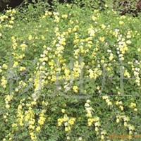 供应苗木花卉迎春