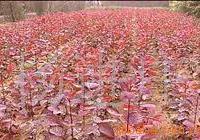 供应苗木花卉美国红栌