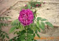 供应-红玫瑰 多分枝红玫瑰 定州红玫瑰 红玫瑰苗