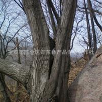秦岭野生名贵稀有大锐齿栎古树!绿化、园林、防护多用途材料!