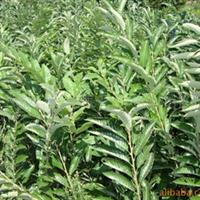 供应板栗苗,丰产性好的板栗苗,板栗苗生产基地