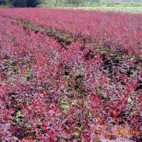 供应绿化苗红叶小檗