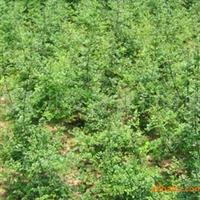 供应绿化苗木白蜡