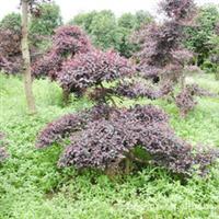 批发供应精品绿化苗木造型红桎木
