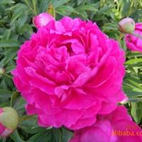供应新品种芍药,花形奇特 花大色艳 成花率高 具有超强的抗逆性