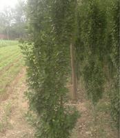 有大规格北海道黄杨出售(2--2.5米高)