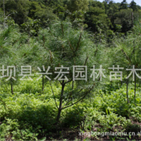 低价供应1.2米华山松 留坝县兴宏园林苗木场 国家级华山松基地