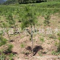 供应0.8米白皮松 留坝县兴宏园林苗木场