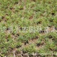 低价供应2年生华山松苗 8公分 含营养钵