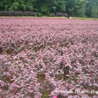 销售大量常绿性灌木红继木   别名红桎木 红��花