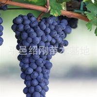 出售优质果树苗,葡萄树苗,多种果树苗!