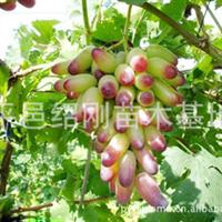 供应葡萄树苗,多种果树苗!