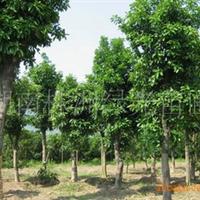 供应优质乔木香泡,香泡树,移栽香泡,再生香泡