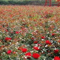 大量供应绿化小苗工程小苗 月季花,红花月季,月季