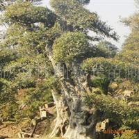 大量供应优质乔木,造型优美榆树