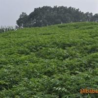 绿化苗木 大量供应各种香椿苗 红油椿 清油椿