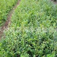 大量供应蚊母,采购蚊母到湖南长沙晶健苗圃