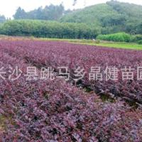 供应红花继木工程苗 高度30-40厘米 蓬径20-25厘米