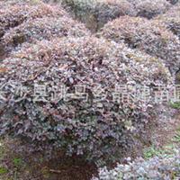 长期出售红花继木色块苗 红花继木球